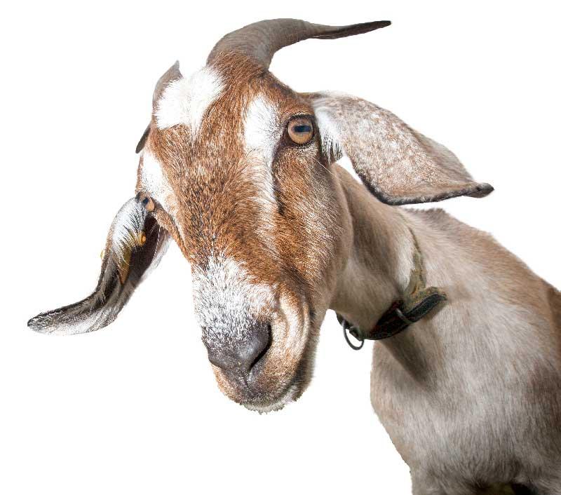 Goat-Big